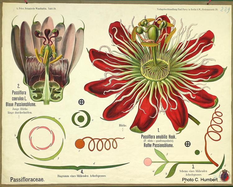 peter29passifloraceae